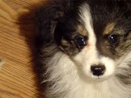 australian shepherd with tail for sale miniature australian shepherd puppies puppy for sale miniature and