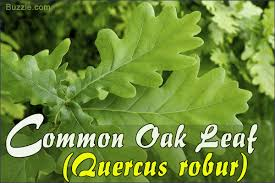 oak tree leaf identification has never been easier than this