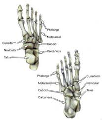 Skeletal Picture Of Foot Athletic Foot Injuries Background Epidemiology Functional Anatomy