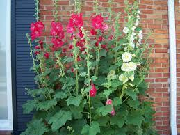 Hollyhock Flowers K U0027s Quilting Korner Hollyhock Flowers