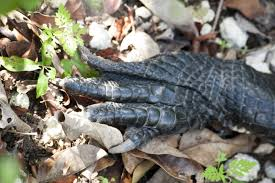 alligator claws alligator claws clippix etc educational photos for students and