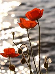 poppies flowers poppy