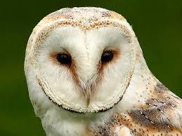What Does A Barn Owl Look Like Barn Owl Facts For Kids Barn Owl Diet U0026 Habitat