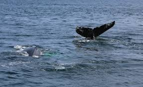 Whale Watches Cape Cod - whale watching in cape cod with hyannis whale watcher cruises