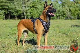 belgian shepherd vs doberman belgian malinois harness with barbed wire design h1bw 1092