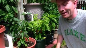 growing ghost peppers update in pots bhut jolokia habanero