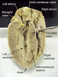 heart dissection worksheet free worksheets library download and