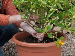 how to plant trees planting trees from containers hgtv