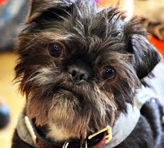 affenpinscher reviews grooming by lisa home facebook