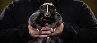 skunk lovers unite a look at pets and their people u2013 proof