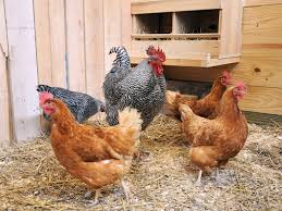 infectious bronchitis in chickens