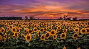 salina ks sunflower field by kansas state university open enrollment for plan year 2018 human resource management