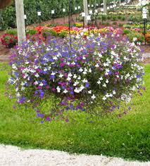hanging basket plants for sun hanging baskets ideas costa farms