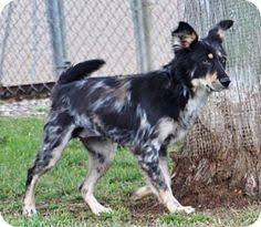 australian shepherd catahoula mix youngsville nc catahoula leopard dog mix meet levi a dog for