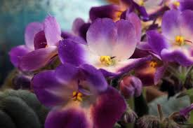 african violet grow light african violets care and feeding how to grow healthy african violets