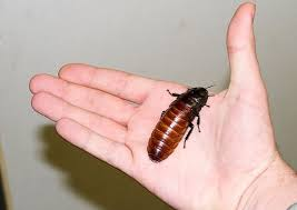 roaches in my bathroom pest control information and facts big roach