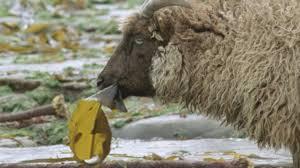 bbc two hairy bikers u0027 best of british series 2 sheep marsala