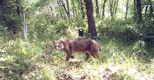 Iowa Wild Animals images Mt lebanon police wildlife in lebo coyotes foxes and bobcats jpg