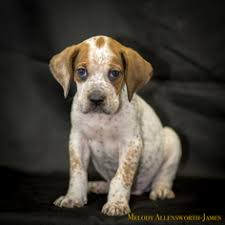 bluetick coonhound kennels in ga view ad bluetick coonhound boxer mix dog for adoption arkansas