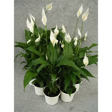 peace lily spathiphyllum shade loving house plants with flowers
