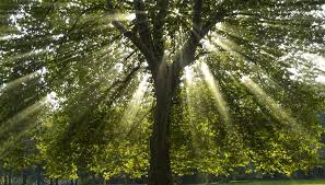 tree symbolism what does the sycamore tree symbolize synonym