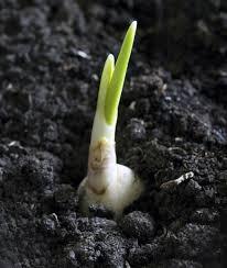garlic plant propagation learn how to propagate garlic bulbs and