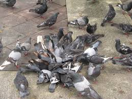 How To Get Rid Of Pigeons On My Roof by Pigeon Deterrent Bird U2022b U2022gone Blog