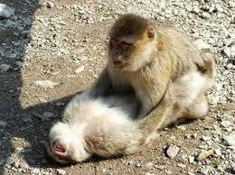 Sexy Monkey Meme - 50 animal sex like human all about photo