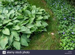 plant with decorative and ornamental foliage hosta vinca minor