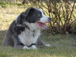 australian shepherd gray free photo border collie australian shepherd free image on