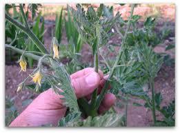 Tomato Plant Wilt Disease - tomato plants leave the little suckers alone tall clover farm
