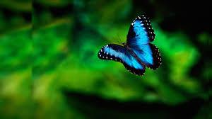 download butterfly wallpaper 7ag verdewall