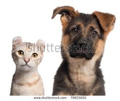 2 months old german shepherd puppy stock images royalty free
