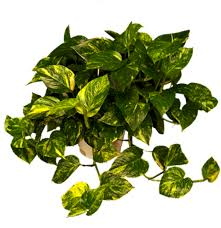 Best Indoor Plants Low Light by Garden Perfect Houseplant For Your Home With Golden Pothos