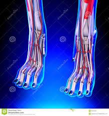 Dog Anatomy Front Leg Dog Front Legs Anatomy With Circulatory System Stock Illustration