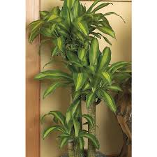 shop 3 5 gal dracaena corn plnt 5ppp6 at lowes com