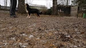 mini australian shepherd 6 months australian shepherd mystic highlands femme fatale 6 months old