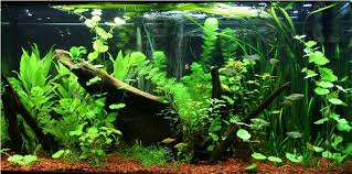 Asian Themed Fish Tank Decorations Lobo317 U0027s Planted Tanks Details And Photos Photo 33814
