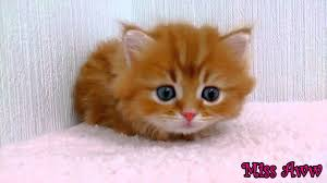 fluffy orange kitten with blue eyes too cute youtube