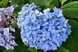blue and purple flowers and purple hydrangea flower arrangement jpg