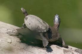 map turtle false map turtle