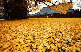 an ancient ginkgo tree drops an of golden leaves