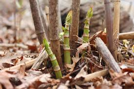 native japanese plants weeds you can eat japanese knotweed hummus gardenista