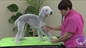 bedlington terrier guard dog part 3 of 4 grooming a bedlington terrier front legs u0026 how to