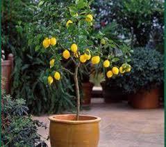 growing and maintaining the lemon tree gardening tips