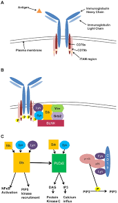 The B The B Cell Receptor Signaling Pathway As A Therapeutic Target In