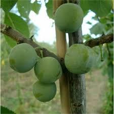 plum cambridge gage buy gage tree purchase plum fruit trees