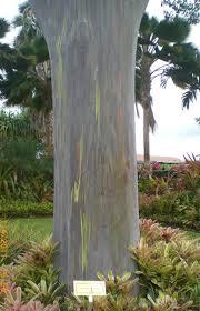 dole oahu hawaii a rainbow eucalyptus tree eucalyptus