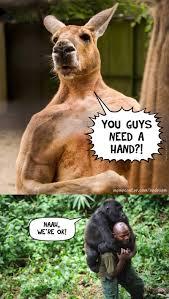 Chimp Meme - kangaroo memes best collection of funny kangaroo pictures
