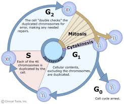 Mitosis And The Cell Cycle Worksheet The Cell Cycle Mitosis And Meiosis Of Leicester
